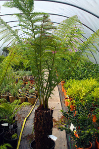 Dicksonia antarctica / Soft Tree Fern : 15L : 2 ft High (exc pot)