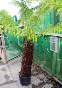 Dicksonia antarctica / Soft Tree Fern : 25L : 3 ft High (exc pot)