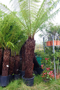 Dicksonia antarctica / Soft Tree Fern : 35L : 5ft High (exc pot)