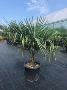 Trachycarpus fortunei / Chusan Palm : 12L Pot : 80-90cm High (exc pot)