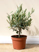 Olea europaea / Olive Tree Bush : 1.5L : 20-30cm High (exc pot)
