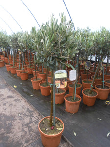 Olea europaea / Olive Tree Standard : 3L : 65-75cm High (exc pot)