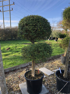 Ligustrum delavayanum / Box Leaf Privet Pom Pom : 35L Pot : 120-130cm High (exc pot)