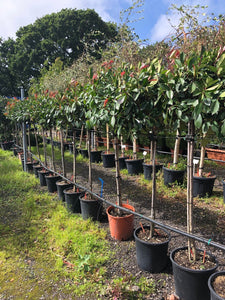 Photinia x fraseri 'Red Robin' / Christmas Berry Standard : 18L Pot : 140-150cm High (exc pot)