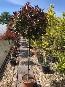 Photinia x fraseri 'Red Robin' / Christmas Berry Standard : 18L : 150-160cm High (exc pot)