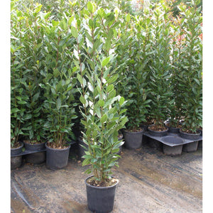Laurus nobilis / Bay Multi-stem : 4L : 80-100cm High (exc pot)
