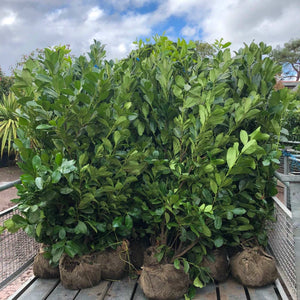 Cherry Laurel Hedging - Root Ball Pallet Deal