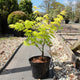 Acer palmatum 'Jordan' / Japanese Maple : 3L Pot : 30-50cm High (exc pot)