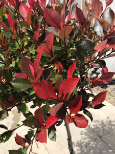 Photinia x fraseri 'Little Red Robin' Standard : 10L : 120cm (exc pot)