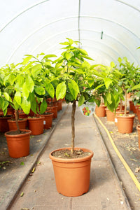 Citrus x paradisi / Grapefruit Tree : 5L : 55-65cm High (exc pot)