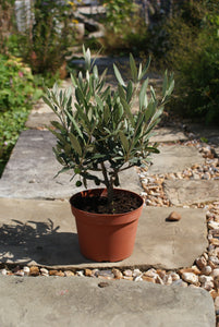 Olea europaea / Olive Tree Bush : 2L : 25-35cm High (exc pot)
