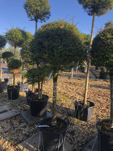 Ligustrum delavayanum / Box Leaf Privet Standard : 50L Pot : 130-140cm High (exc pot)
