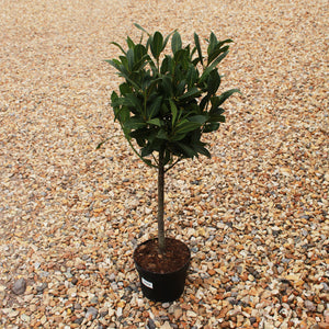 Laurus nobilis / Bay Standard : 2.5L : 50-60cm High (exc pot)
