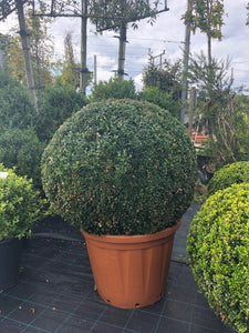 Buxus sempervirens / Box Ball : 65L Pot : 90cm High (exc pot)