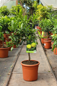 Citrus hystrix / Kaffir Lime Standard : 5L : 45-60cm High (exc pot)