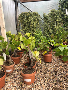 Vitis vinifera / Common Grape Vine : 3L Pot : 50-60cm High (exc pot)