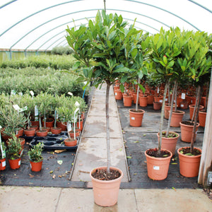 Laurus nobilis / Bay Standard : 7L Pot : 100-110cm High (exc pot)