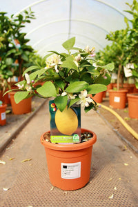 Citrus limon / Lemon Mini-stem: 2L : 25-35cm High (exc pot)