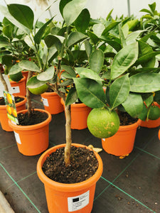 Citrus sinensis / Orange Mini-stem : 1.5L : 25-30cm High (exc pot)