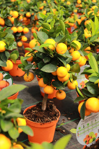 Citronfortunella mitis / Calamondin Mini Stem : 1L : 25-30cm High (exc pot)