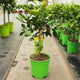 Citrus hystrix / Kaffir Lime Mini-stem : 2L : 30-40cm High (exc pot)