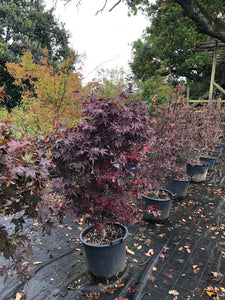 Acer palmatum 'Bloodgood' / Japanese Maple : 20L Pot : 120-130cm High (exc pot)