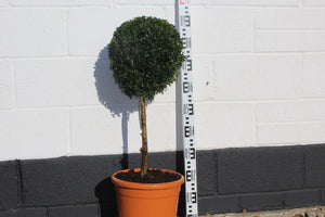 Buxus sempervirens / Box Standard : 12L : 65-70cm High (exc pot)