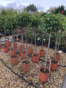 Photinia x fraseri 'Red Robin' / Christmas Berry Standard : 10L Pot : 120-130cm High (exc pot)