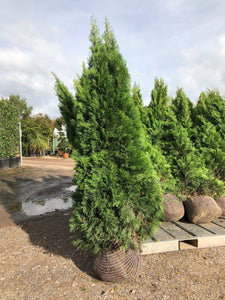 Thuja occidentalis 'Smaragd' / White Cedar 'Smaragd' : R/Ball Pot : 125-150cm High (exc pot)