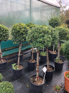 Ilex crenata 'Dark Green' / Japanese Holly Standard : 10L Pot : 90cm High (exc pot)