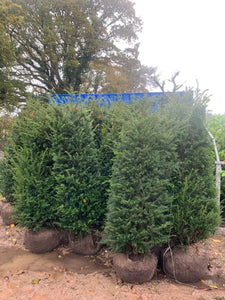 Taxus baccata / Yew : R/Ball Pot : 150-175cm High (exc pot)