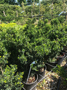 Ilex crenata 'Kimne' / Japanese Holly Bush : 5L Pot : 40-50cm High (exc pot)