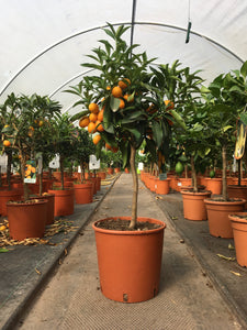 Kumquat / Citrus japonica 'Nagami'  : 5L : 40-50cm High (exc pot)