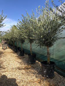 Olea europaea / Olive Heavy Standard : 45L Pot : 160-170cm High (exc pot)