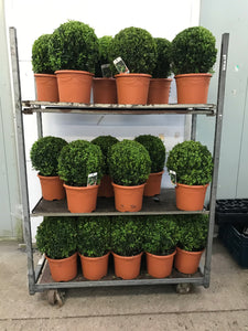 Buxus sempervirens / Box Ball : 5L Pot : 25-30cm High (exc pot)