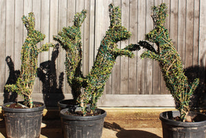 Ligustrum delavayanum / Box Leaf Privet Topiary Art : 15L : 80-100cm High (exc pot)
