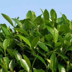 Ilex Plant (5L) for Topiary Frames