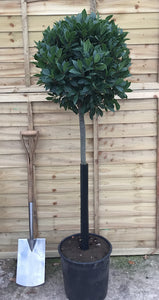 Laurus nobilis / Bay Standard : 7L Pot : 140cm High (exc pot)