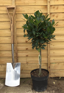 Laurus nobilis / Bay Standard : 6L Pot : 55-65cm High (exc pot)