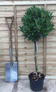 Laurus nobilis / Bay Plaited Standard : 5L Pot : 80cm High (exc pot)