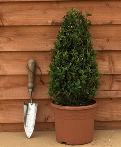 Buxus sempervirens / Box Cone : 3L Pot : 30-35cm High (exc pot)