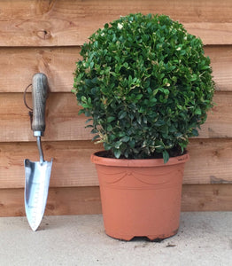 Buxus sempervirens / Box Ball : 3L Pot : 22-25cm High (exc pot)