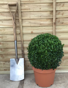 Buxus sempervirens / Box Ball : 10L Pot : 40cm High (exc pot)