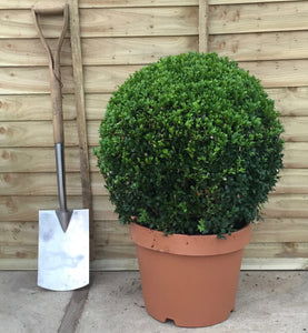 Buxus sempervirens / Box Ball : 15L Pot : 50cm High (exc pot)