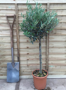 Olea europaea / Olive Tree Standard : 10L Pot : 130cm High (exc pot)
