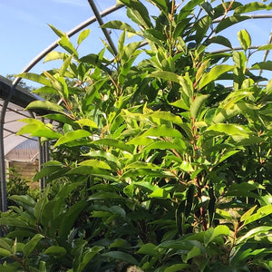 Prunus lusitanica / Portuguese laurel : 15L Pot : 120cm High (exc pot)