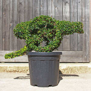 Cannon Topiary Sculpture