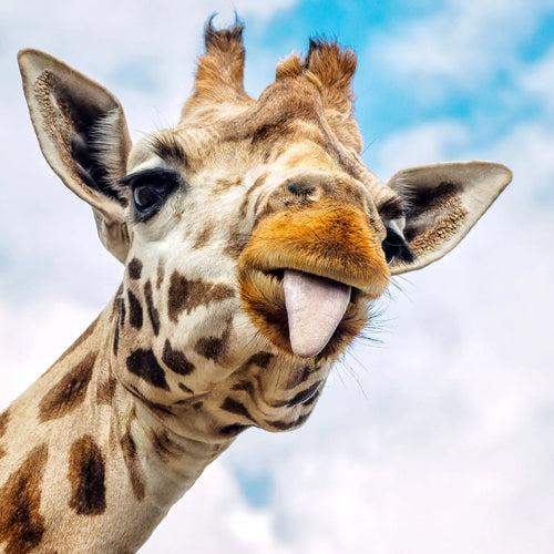 5 FACTS ABOUT GIRAFFES (Pictures + Meet Bruno)