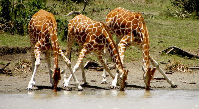 5 facts about giraffes | How does Giraffe drink water