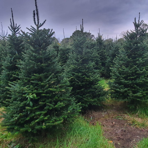 Christmas Tree Nordmann Fir (7ft)